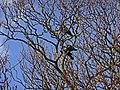 Jackdaw (Corvus monedula) - geograph.org.uk - 1239508.jpg