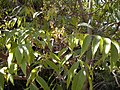 Jagera pseudorhus flowers and foliage.jpg