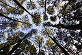 Jajaran Pinus di Hutan Wisata Pinus Mangli. DSC 0749.jpg
