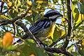 Jamaican Spindalis (Spindalis nigricephala) (8082131069).jpg