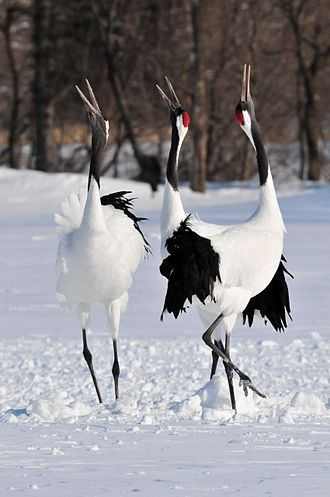 Red-crowned crane - Cranes honking