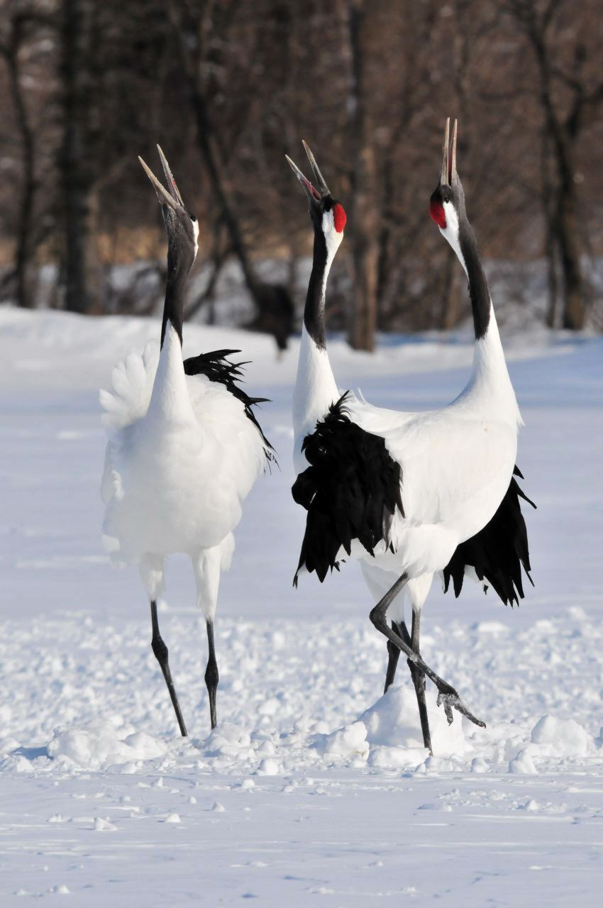Japanse kraanvogels in Akan International Crane Centre, -24 februari 2012 a