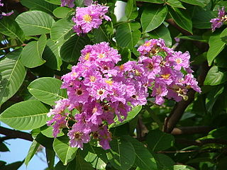 <i>Lagerstroemia speciosa</i> species of plant