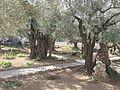 Jerusalem Garden of Gethsemane (2544475480).jpg