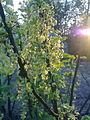 Jeunes grappes de groseilles à Grez-Doiceau 004.jpg