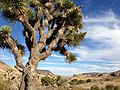 Joshua tree in Pipes Canyon (11004489285).jpg