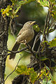 Jungle Babbler - Bandavhgarh - India 8354 (19551622951).jpg