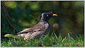 Jungle myna by Dharani Prakash.jpg