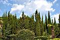 Juniperus. Kanaka. Crimea. Ukraine.jpg