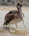 Juvenile Brown Pelican in San Francisco 20110804 1.jpg