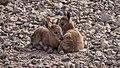 Juvenile Nubian ibex (50829).jpg