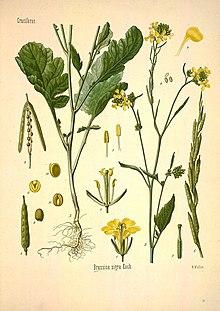 Семена Горчи́ца чёрная (Brássica nígra)