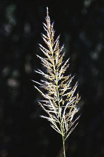 <i>Saccharum spontaneum</i> species of plant