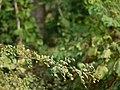 Kale Madh ka Per (Hindi- काले मध का पेड़) (4171257192).jpg