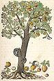 Kandel Bild aus Kreütterbuch Hieronymus Bock.jpg