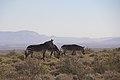 Karoo National Park 2014 28.jpg
