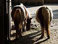 Kehrseite Shetland-Pony Tiergarten Worms 2011.JPG
