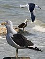 Kelp Gull From The Crossley ID Guide Eastern Birds.jpg