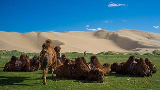 Gobi Desert - Bactrian camels by the sand dunes of Khongoryn Els, Gurvansaikhan NP, Mongolia.