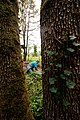 Kid's Day of Caring-Pulling Ivy, Willamette National Forest (34758930561).jpg