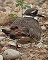 Killdeer (Charadrius vociferus) - Guelph, Ontario.jpg