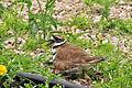 Killdeer on Eggs Portage la Prairie, MB.JPG