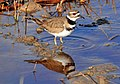 Killdeer on Seedskadee NWR (17148537422).jpg