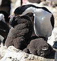 King Cormorant with chick (5583143630).jpg