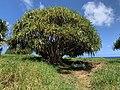 Kipahulu Campsite Beneath a Hala Tree, 2020 (f81166ea-a7f9-4d52-9ed2-47c5eaf366ae).jpg