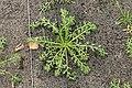 Kluse - Lepidium meyenii - Maca 03 ies.jpg
