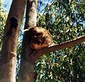 Koala in the street 2.jpg