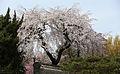 Korea Palace Spring Flowers 15.jpg