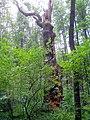 Královský dub v lese Bažantnici u Karolína - č. 6.jpg