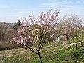 Krošnja gorične breskve u cvatu.jpg