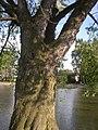 Kysice KL CZ Javory v Kysicich Acer saccharinum 081.jpg
