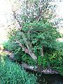 Lõve river and Tree.IMG 1497.JPG