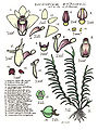 LR026 72dpi Dendrobium malbrownii.jpg