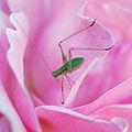 La vie en rose... or another macro cliché (2714408526).jpg