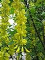 Laburnum × watereri, Osaka, Japan 3.jpg