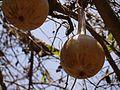 Lagenaria siceraria (5656450397).jpg
