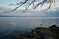 Lake Neuchâtel Cygnus olor 2015 04 19 b.jpg