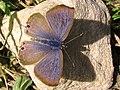 "Lampides boeticus * ""canela estriada"" (7945681874).jpg"