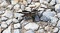 Landkärtchen Araschnia levana f. prorsa 4255.jpg