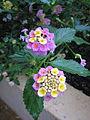 Lantana camara flowers.jpg