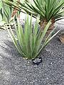 Lanzarote - Agave palmeri.jpg