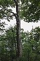 Large Maple Kings Forest Park.JPG