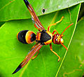 Large Mud-nest Wasp - Abispa ephippium.jpg