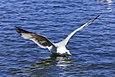 California gull (Larus californicus) landing in Palo Alto Duck Pond, Baylands Nature Preserve, Palo Alto, California.