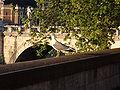 Larus michahellis Rome Tiber.jpg