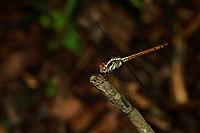 Lathrecista asiatica-Kadavoor-2016-07-04-001.jpg